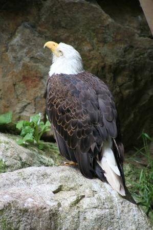 Wildlife Images - Rehabilitation & Education Center: One of the male Eagles