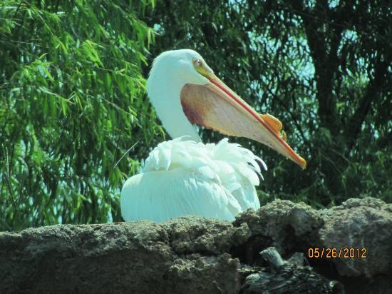 แจ็คสัน, มิซซิสซิปปี้: White pelican