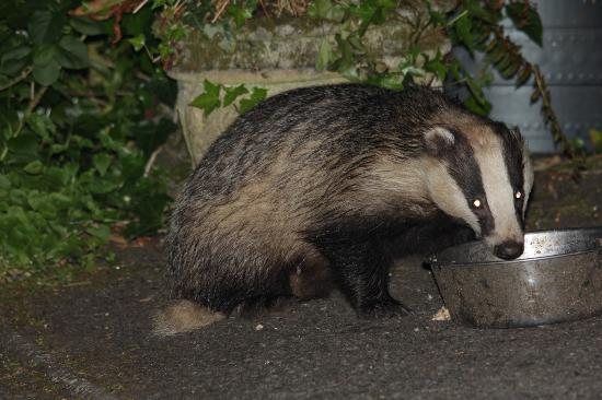 Woodlands Guesthouse: badgers in the garden of Woodlands, wow!