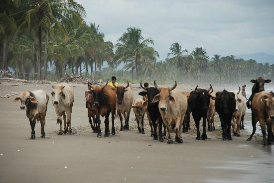 Cocosolo Lodge: ganado pasando por la playa