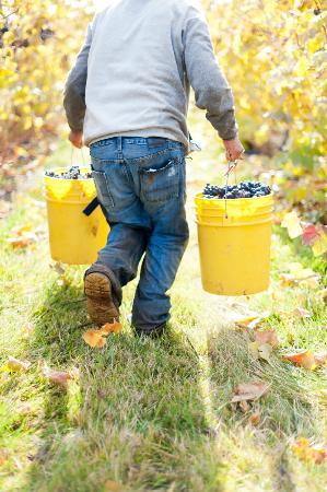 Coelho Winery: Transporting hand picked Pinot noir