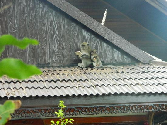 Phi Phi Paradise Pearl Resort: monkey on the roof