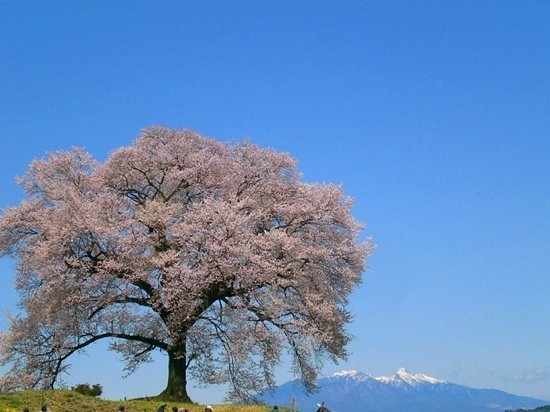 Nirasaki, Japan: わに塚のさくら