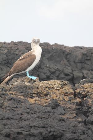 Red Mangrove Isabela Lodge: Blue Footed Boobie