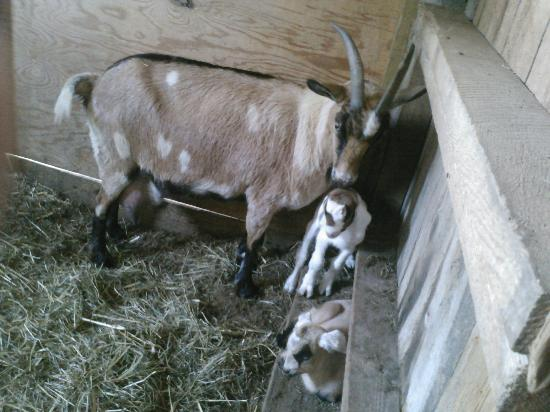 Springfield Bed and Breakfast: New baby goats