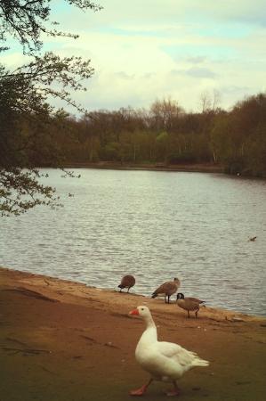 Heaton Park Ducks (Design191)