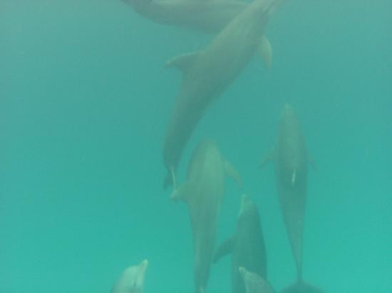 Bimini Big Game Club Resort & Marina: How lucky!!  We happened up a pod of dolphins!
