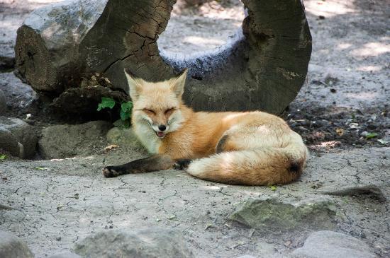Cosley Zoo: Red Fox