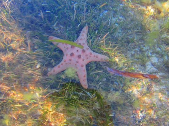 La Pernela Beachfront Resort: Starfish!