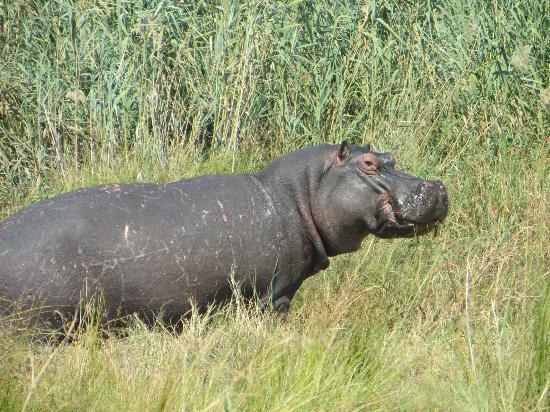 Selinda Camp: a hippo greeted us when we arrived at the camp