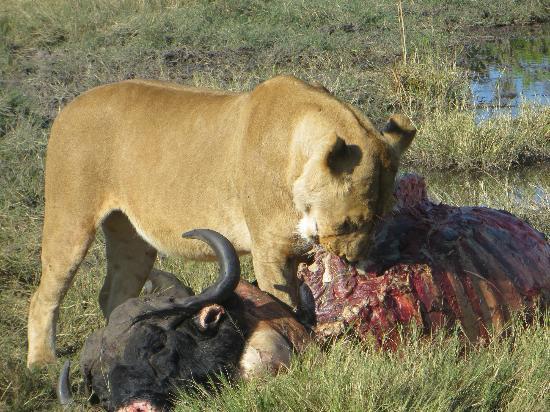 Selinda Camp: lion eating a water buffalo