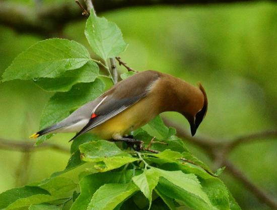 Point Pelee National Park : Cedar Waxwing