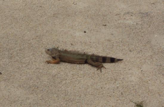the iguana!
