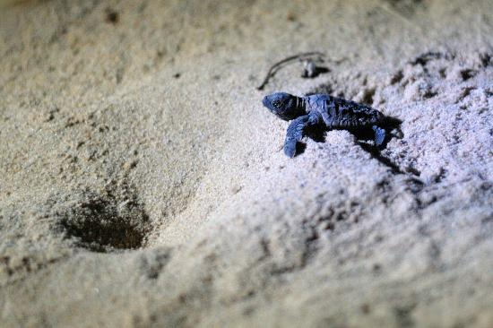 Extreme Nature Tours and Travel Day Tours: baby turtle at bhanga nek