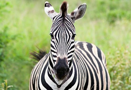 Extreme Nature Tours and Travel Day Tours: zebra at hluhluwe