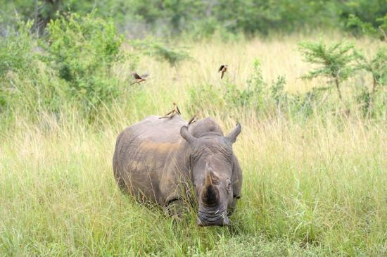 Extreme Nature Tours and Travel Day Tours: rhino and oxpeckers at hluhluwe