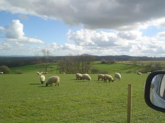 Hall Farm Bed and Breakfast: sheep on the farm
