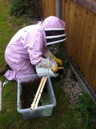 Flynns Bee Farm: swarm collecting