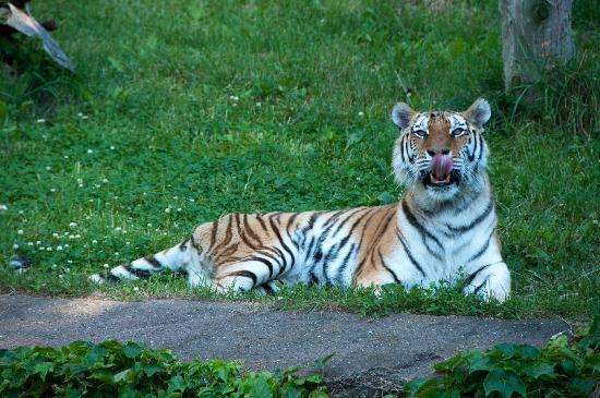 Lincoln Park Zoo : Tiger Licking his Chops