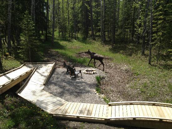 Deer Valley Bed & Breakfast: Curious Moose wanders onto the property.