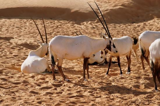Al Maha, A Luxury Collection Desert Resort & Spa: Wildlife Drive