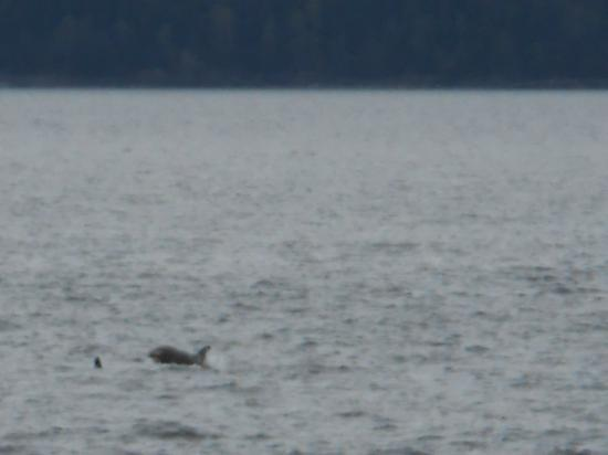 Breaching humpback as seen from boat picture of allen marine tours