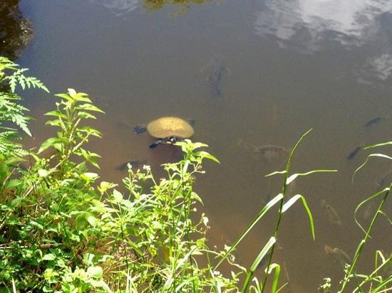 Turkey Creek Sanctuary: turtle