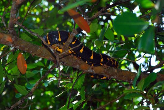 Cherating River : Snake basking on a branch