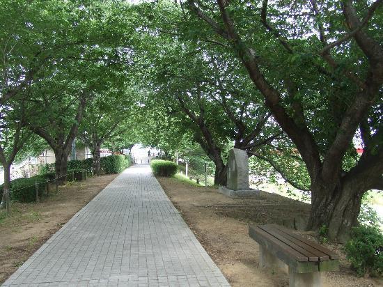 Yodo Riverside Park Sewaritei District: ソメイヨシノがたくさんありました。
