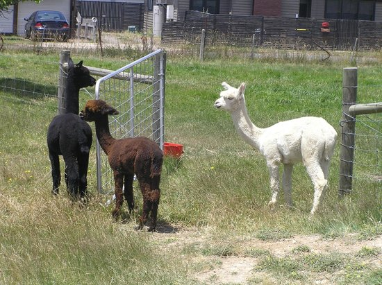 Creswick, Australia: Alpacas outside the shop