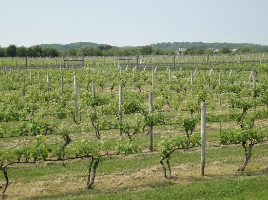Mattituck, NY: View of vineyard off back deck