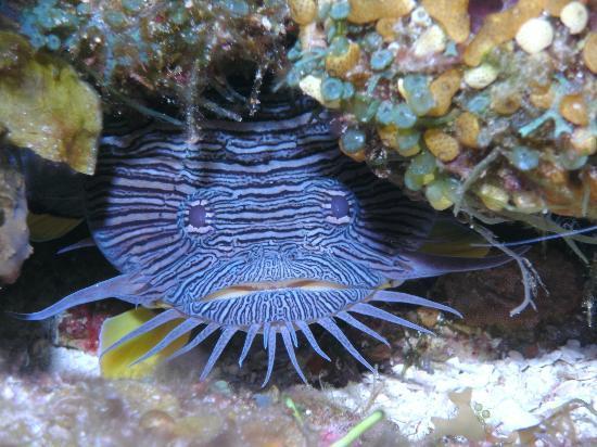 Mestizo Divers: Splendid Toadfish