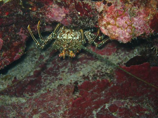 Compass Point Dive Resort: lobster