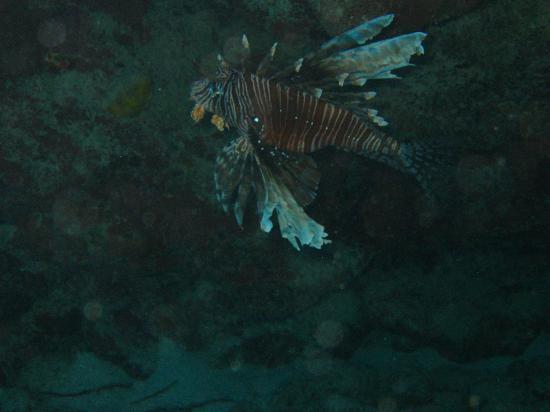 Compass Point Dive Resort: lion fish