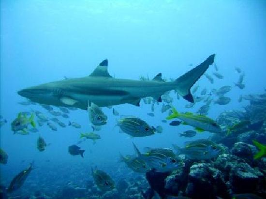 Tahaa Diving : Black tip shark