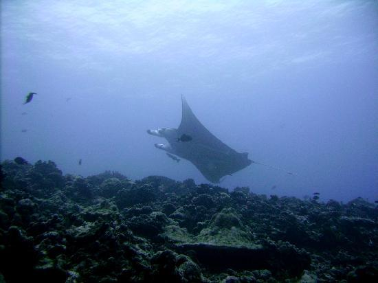 Tahaa Diving : Manta ray