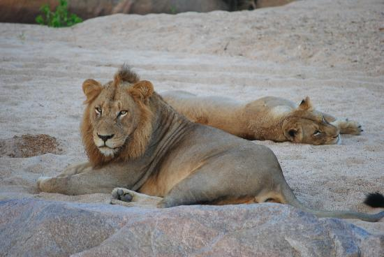 Ulusaba Private Game Reserve, Güney Afrika: Lions after mating