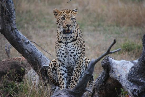 Ulusaba Private Game Reserve, Sydafrika: Leopards are my favorite of all animals