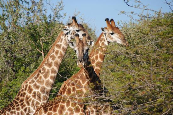 Ulusaba Private Game Reserve, Güney Afrika: Triple giraffes