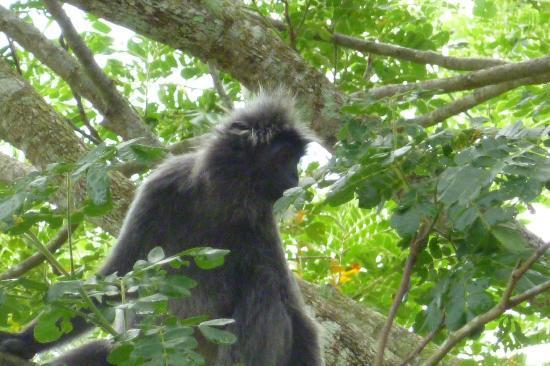 Kuala Selangor Nature Park (Taman Alam Kuala Selangor): Silver Leaf Monkey