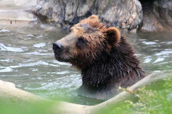 Bronx, نيويورك: Brown bear