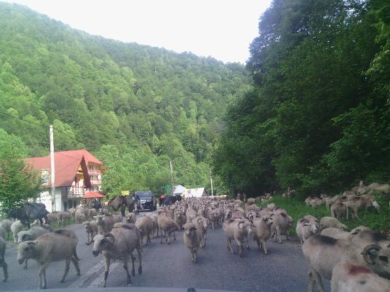 Transalpina Road: a lot of animals on the way towards Voineasa