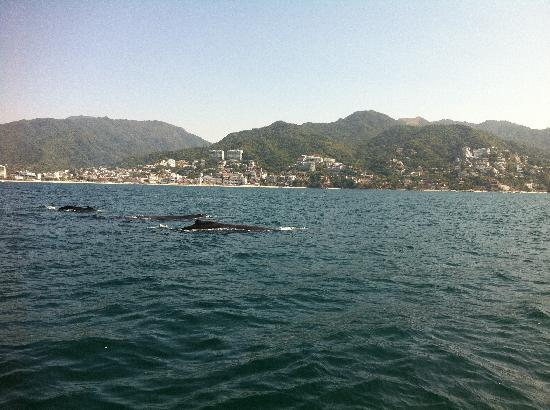 Bay of Banderas : family of whales
