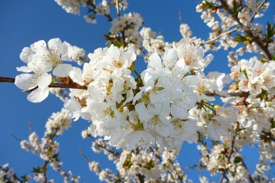 Les Oliviers & Les Cerisiers 이미지