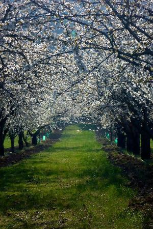 Les Oliviers & Les Cerisiers : Cherry orchards