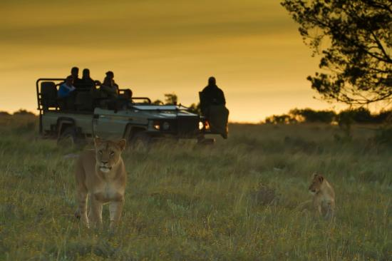 Kichaka Luxury Game Lodge: Lions Early morning