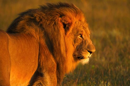 Kichaka Luxury Game Lodge: Majestic Lion