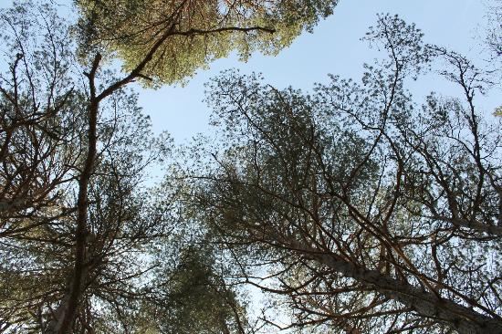 Rothiemurchus Camp and Caravan : view of trees above the tent