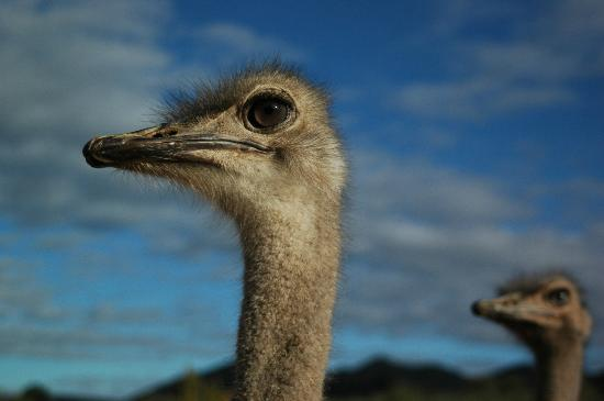 Carmens Gaestefarm: Close up ostrich view