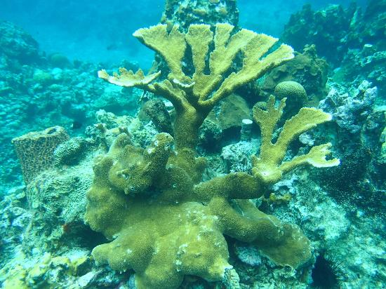 Anse Chastanet Beach and Reef: Elkhorn coral 5-6 ft high
